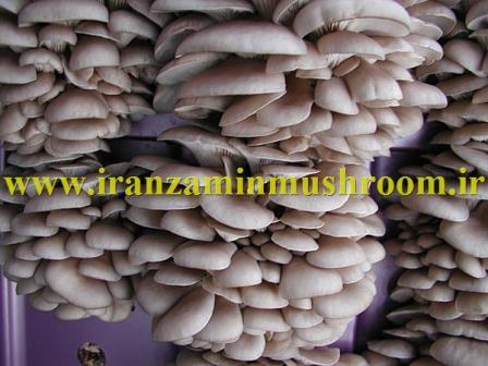 http://vmehdizadeh.persiangig.com/image/WWW.IranZaminMushroom.ir.jpg